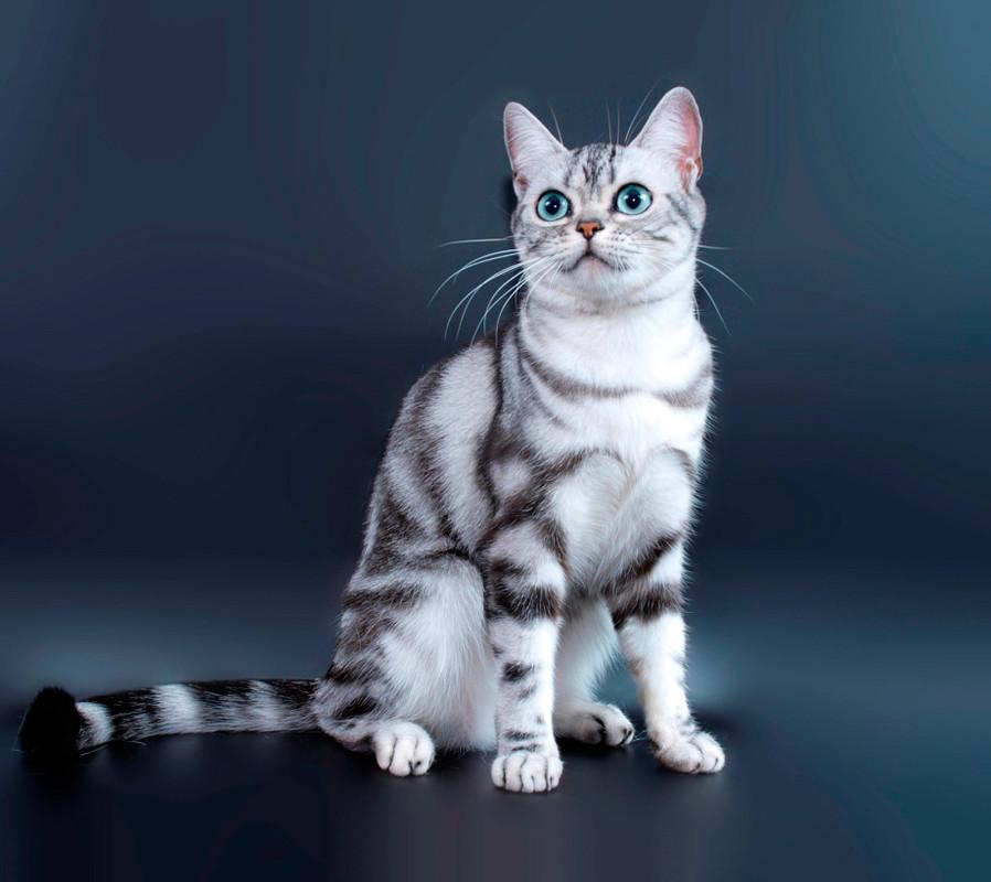 Американская короткошерстная кошка – с любовью из сша - mirlap