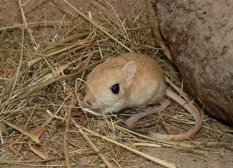 Что едят тушканчики домашних условиях. житель пустыни тушканчик: фото, картинки и описание зверька. размножение в домашних условиях