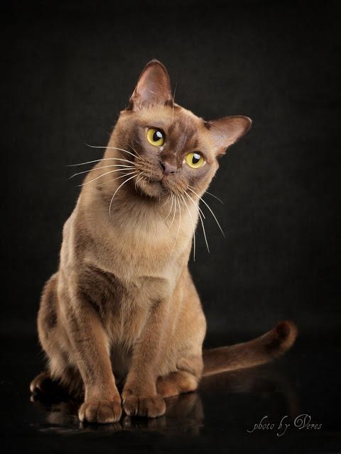Бурма — кошка как талисман, гигиена и здоровье, характер породы + 96 фото