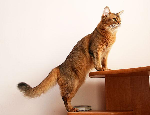 Сомали кошка : содержание дома, фото, купить, видео, цена