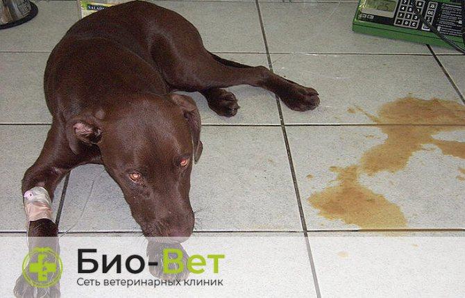 Собаку рвет пеной: почему стоит беспокоиться и что делать. можно ли без ветеринара вылечить рвоту у собак?