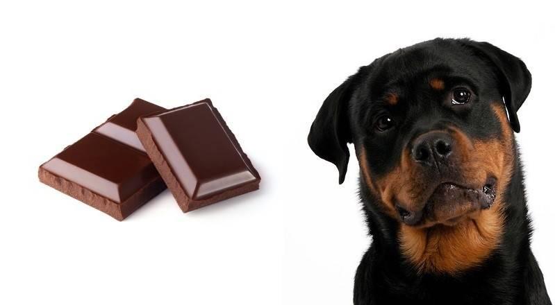 Симптомы и устранение последствий, если собака съела шоколад