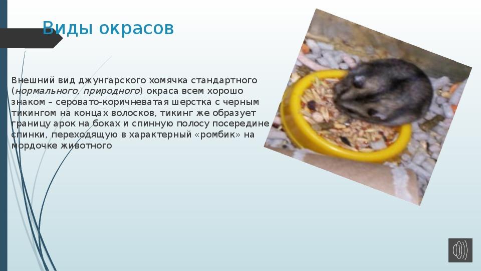 Правила содержания джунгарского хомяка в домашних условиях
