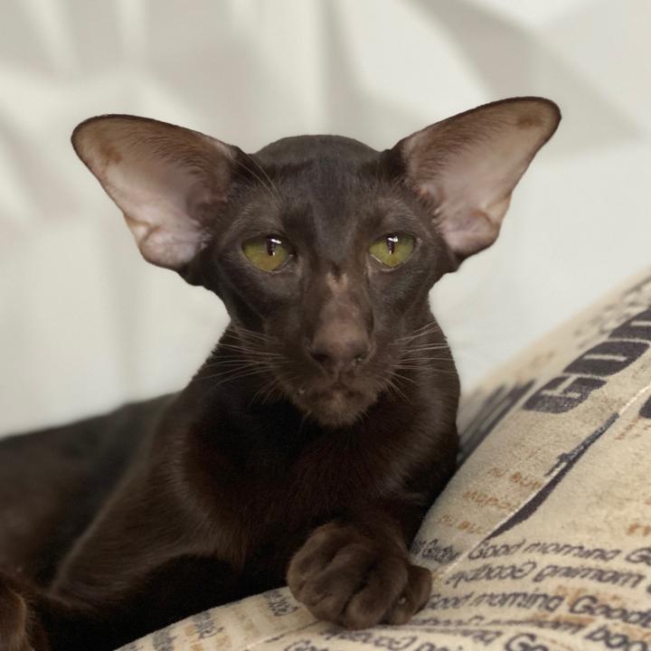 Ориентальная кошка ???? фото, описание, характер, факты, плюсы, минусы кошки ✔