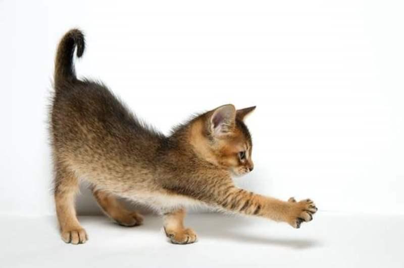 Кошка чаузи (хауси)