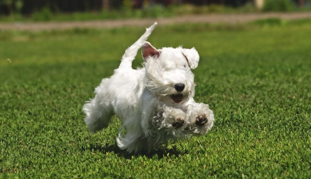 18 разновидностей породы собак терьер
