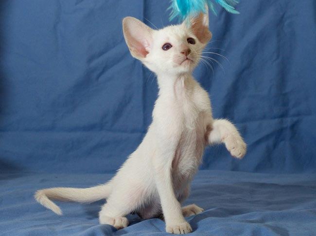 Особенности содержания белой кошки: характер, здоровье, уход - мир кошек