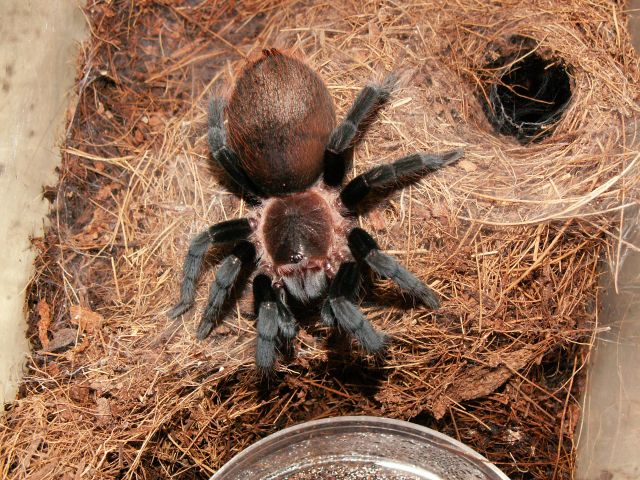 Птицеед ваганс: описание паука брахипельма