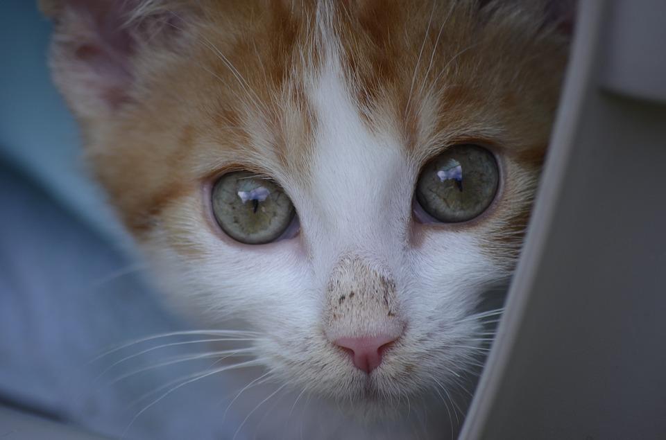 Протозоозы (токсоплазмоз, цистоизоспорозы) у кошек