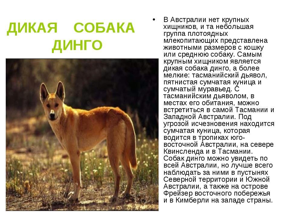 Собака динго. образ жизни и среда обитания собаки динго | животный мир