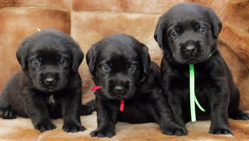 Разноцветный лабрадор: выбираем самого красивого щенка
