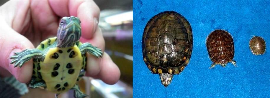 Как определить пол у красноухих черепах: фото и видео как определить пол у красноухих черепах: фото и видео