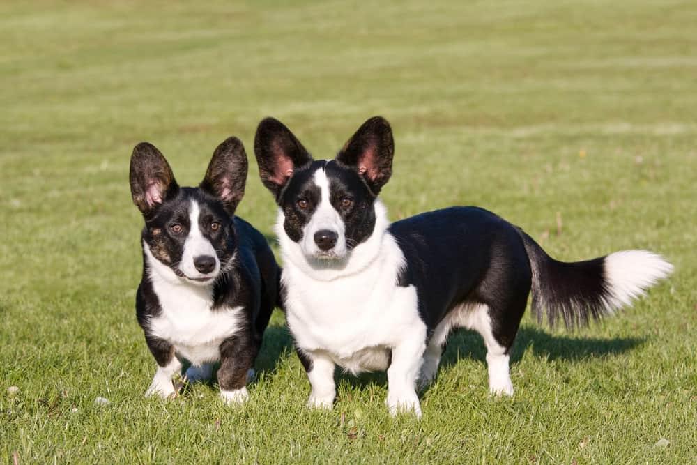 Вельш корги кардиган — описание породы собак