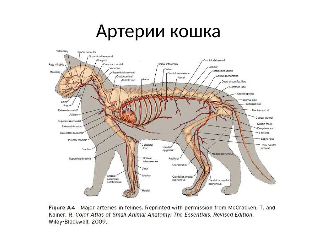 Зачем кошкам хвост, его строение и функции