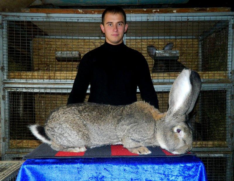 Кролик породы фландр (бельгийский великан): описание породы, фото