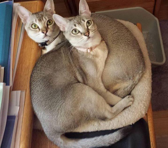 Сингапурская кошка лилипут или карликовый кот: описание породы и цены в питомнике