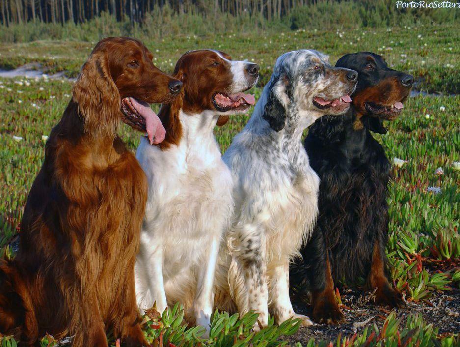 Ирландский сеттер фото, красный или золотистый сеттер цена щенка, описание и характеристика, отзывы