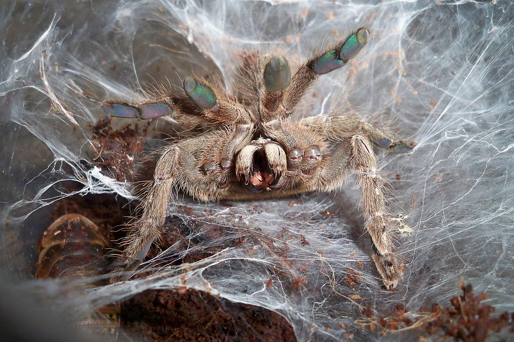 Содержание паука-птицееда в домашних условиях