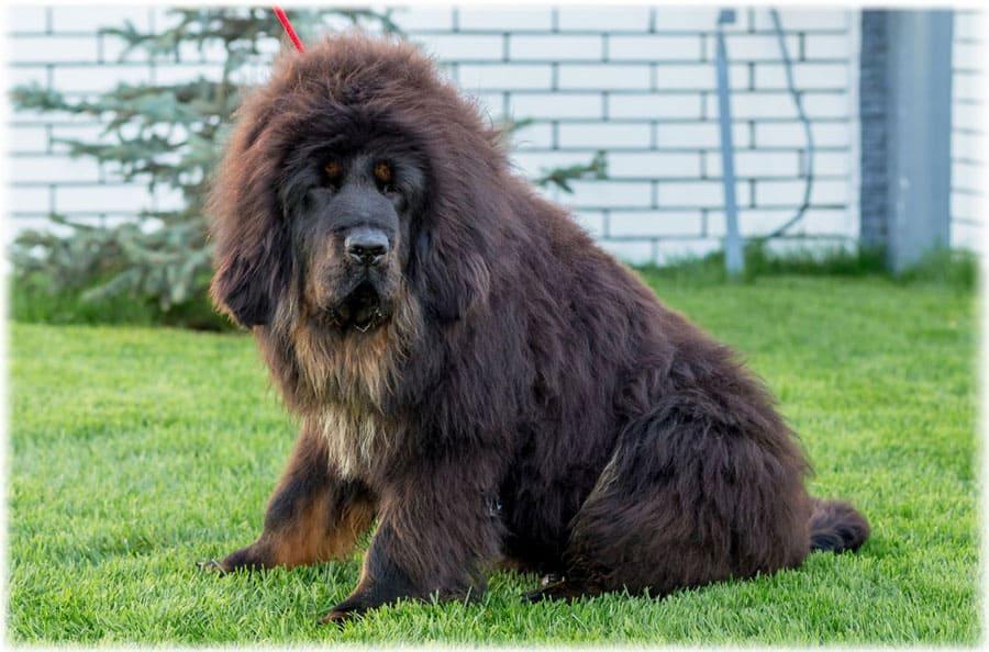 Самые большие в мире породы собак: описание и фото