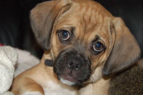 Пагль: фото собак, описание породы и условия содержания животного