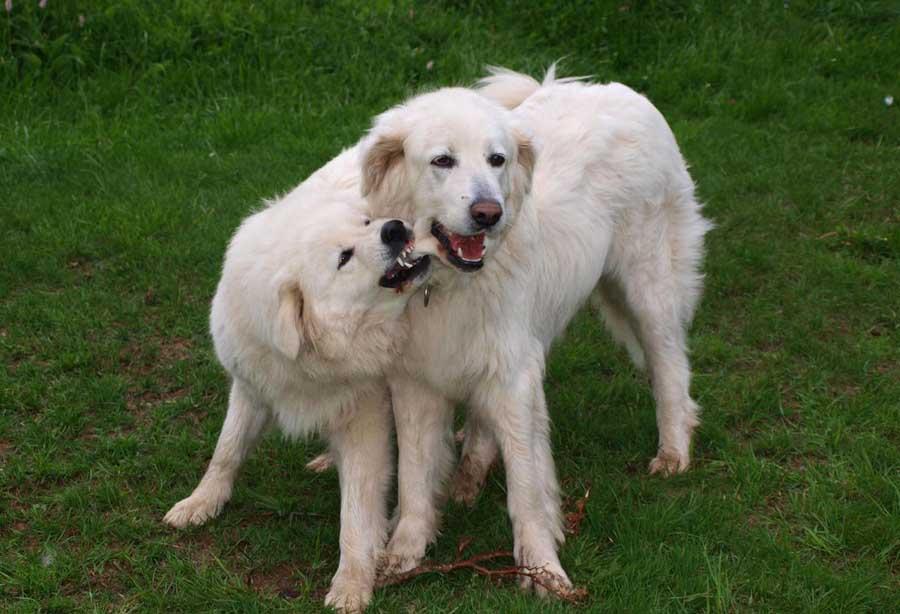 Собаки » породы » словацкий чувач