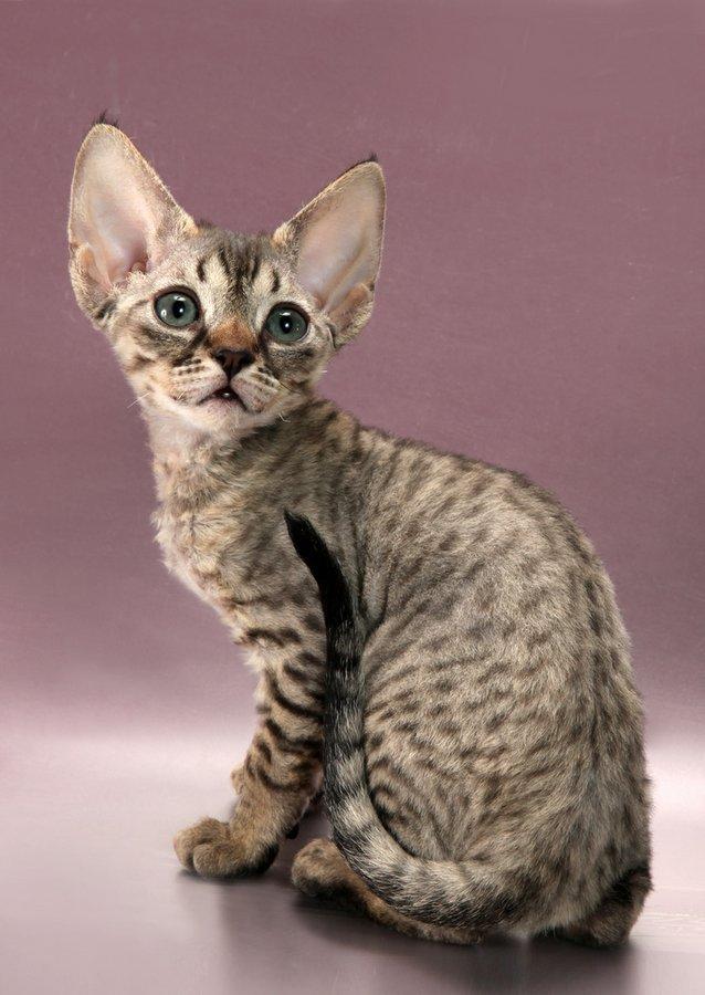 Гипоаллергенные кошки для аллергиков и астматиков: описание пород с фото