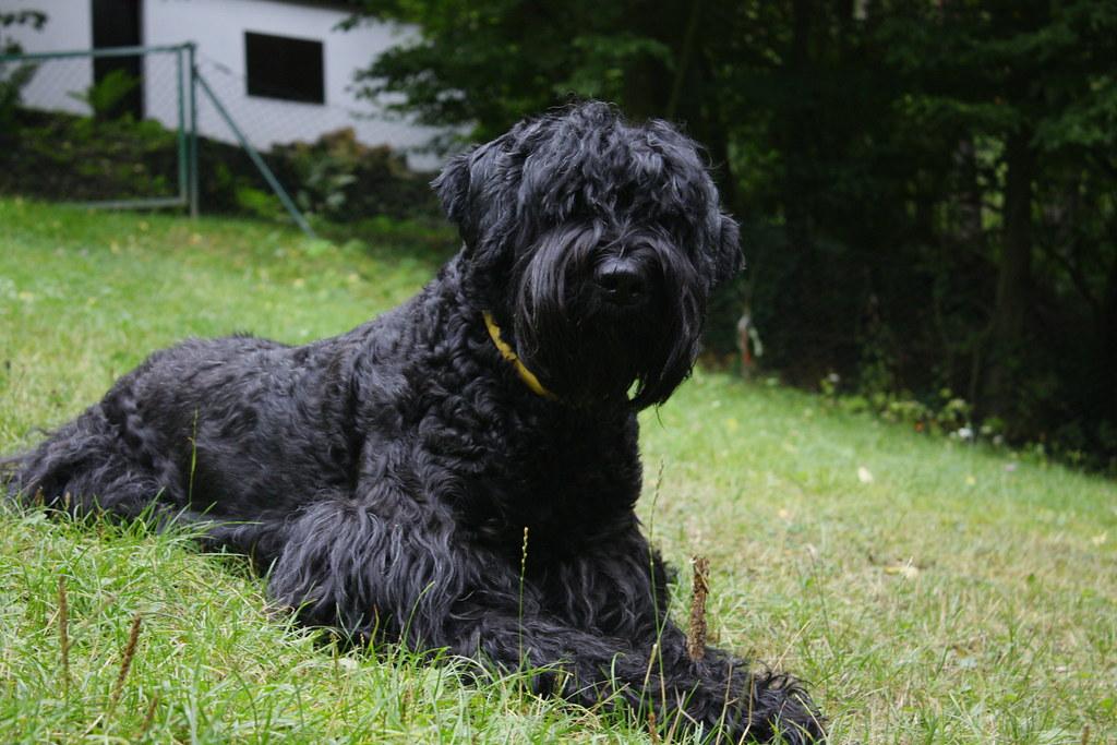 Черный терьер ???? фото, описание, характер, факты, плюсы, минусы собаки ✔