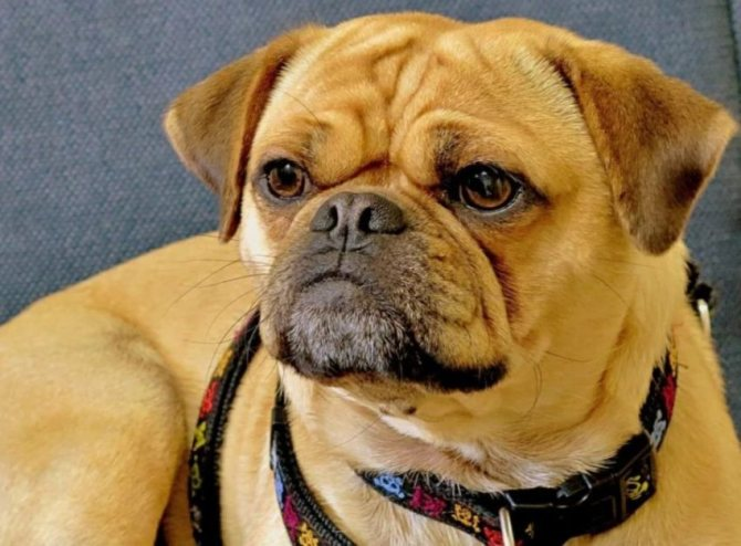 Описание породы собак пагль с отзывами владельцев и фото - зоо журнал
