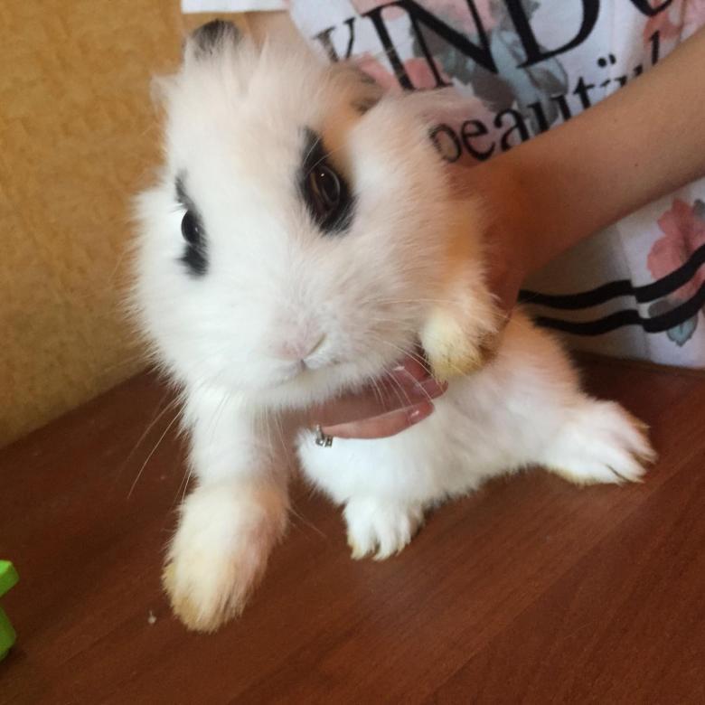 Питомники декоративных кроликов (в москве, спб и других городах)   «твой кролик»