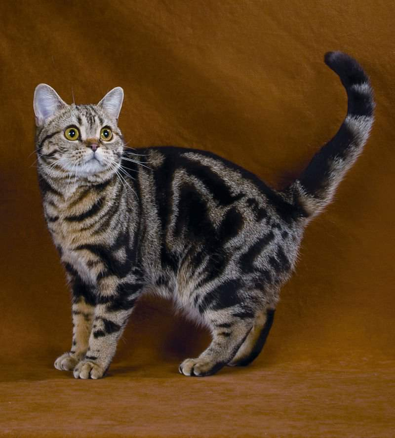 Американская короткошерстная кошка фото и цена american shorthair