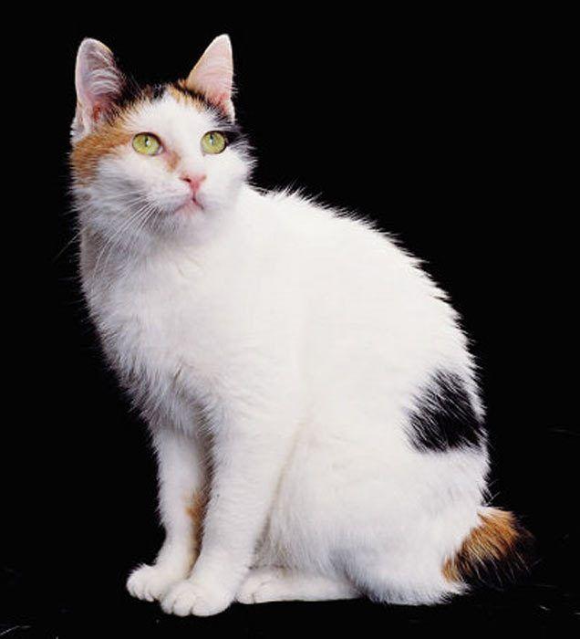Причуды черепахового окраса у кошек