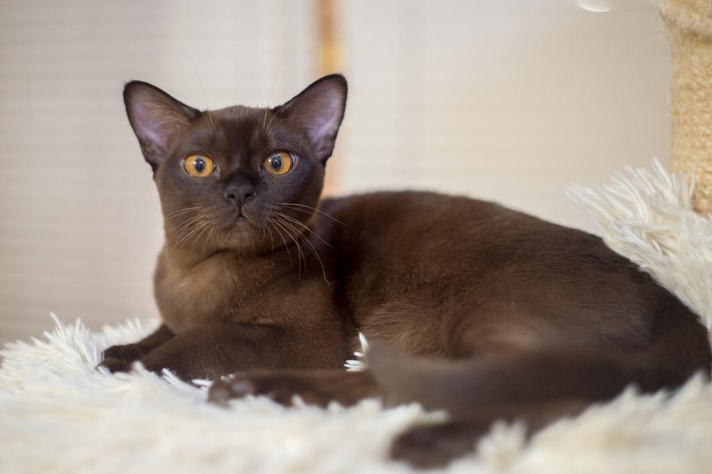 Бурманская кошка: фото, цена, описание породы, характер, видео, питомники