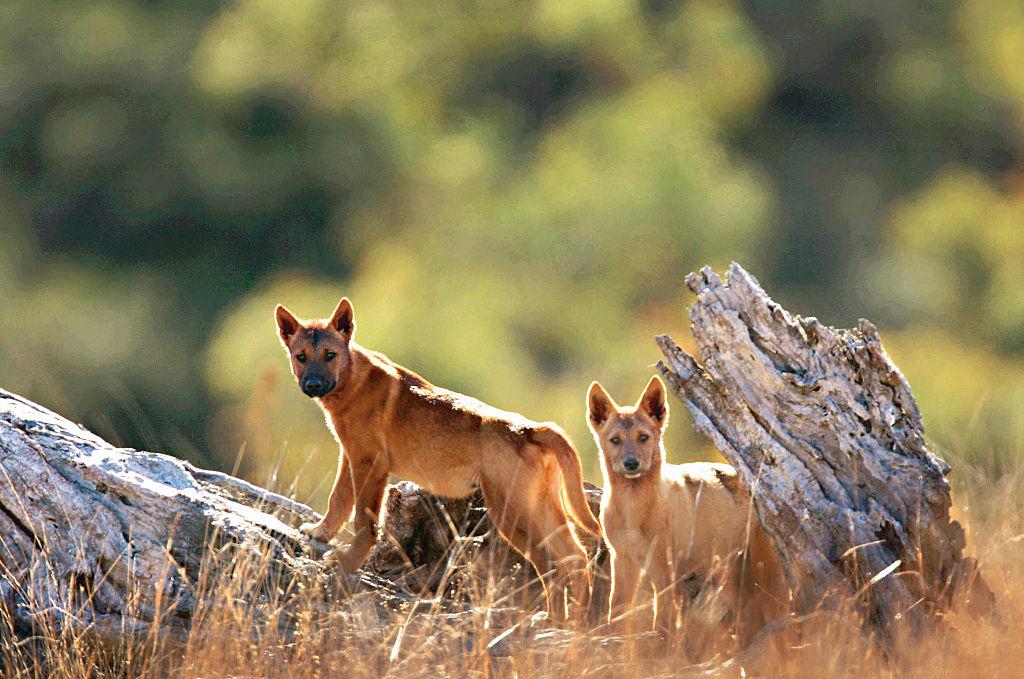 Динго (canis lupus dingo): фото, интересные факты