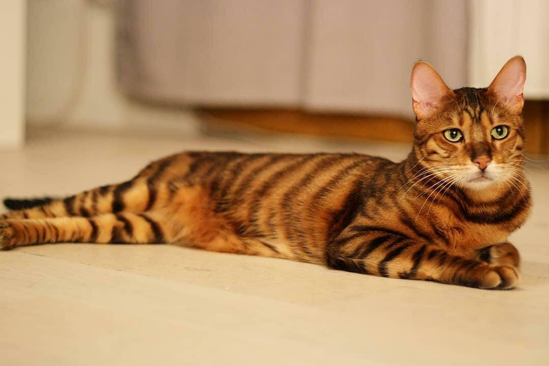 Описание появления гибридных пород кошек: бенгальская, тойгер и саванна - wlcat.ru