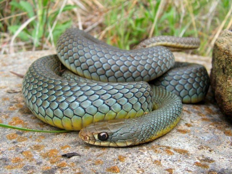 Желтая змея особенности и общие характеристики рептилий жёлтого окраса