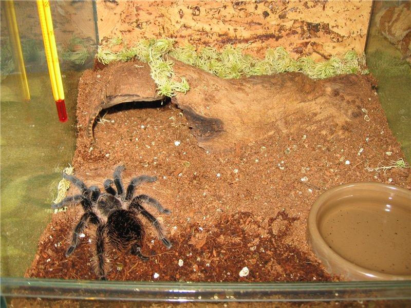 Brachypelma albopilosum: содержание паука брахипельма альбопилосум