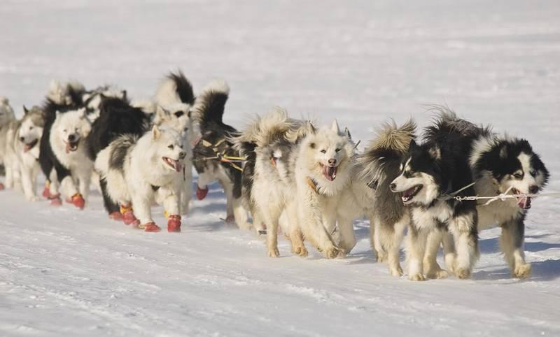 Чукотская ездовая: характеристики породы собаки, фото, характер, правила ухода и содержания