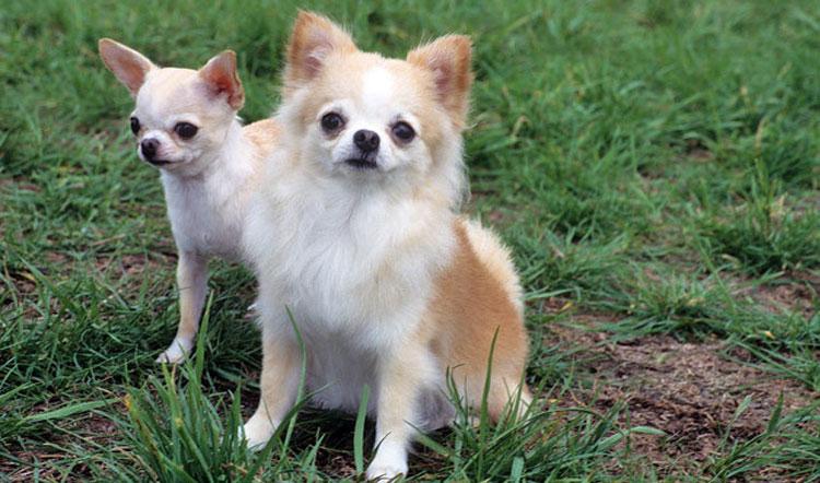 Чихуахуа ???? фото, описание, характер, факты, плюсы, минусы собаки ✔