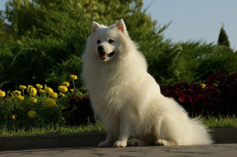 Характеристика собак породы японский шпиц с отзывами и фото