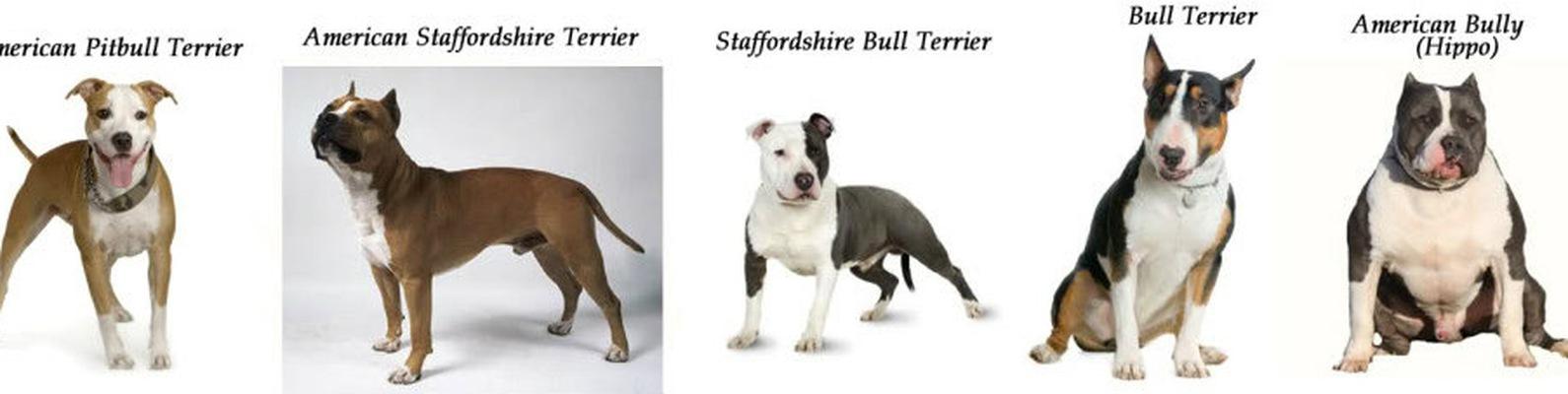 Амстафф и питбуль - отличия, фото собак, сравнение пород