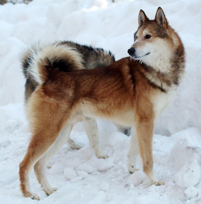 Лайка – собака, порода или термин, виды лаек, окрасы, воспитание