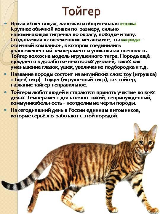 Тойгер — описание породы кошек