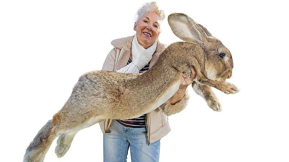 16 самых больших кроликов мира