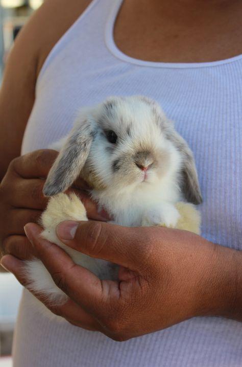 Ангорские кролики: фото, описание породы, интересные факты