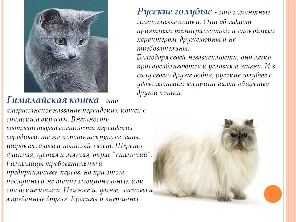 Русская голубая кошка: описание породы, характер, уход и здоровье