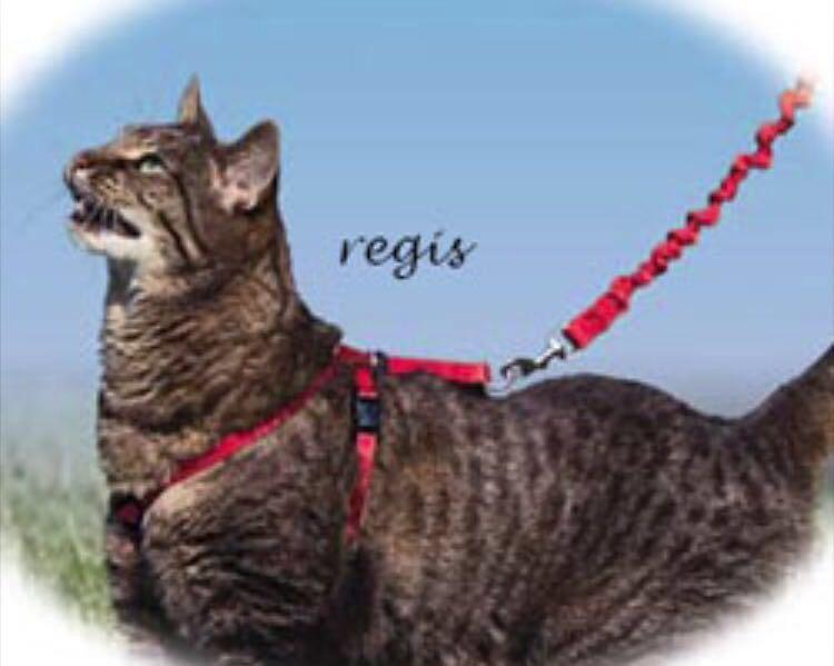 Как выбрать шлейку для кошки и правильно ее надеть - мир кошек