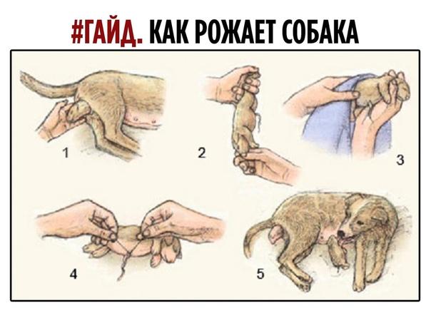 Беременность у собак: первые симптомы, сроки и особенности - новости на kp.ua