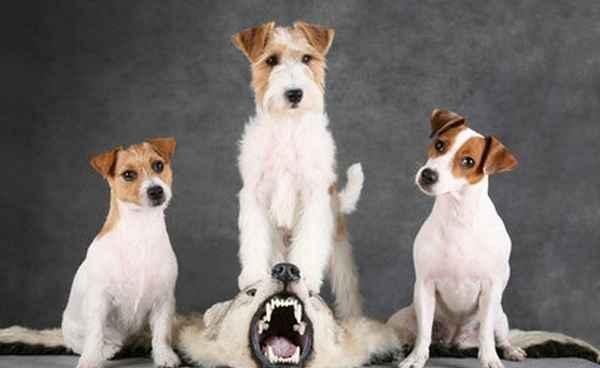 Порода собак гладкошерстный джек-рассел-терьер: фото, история появления, принятые стандарты и особенности характера