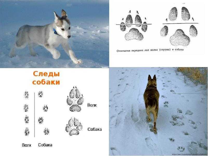 Следы волка: как отличить и что нужно знать