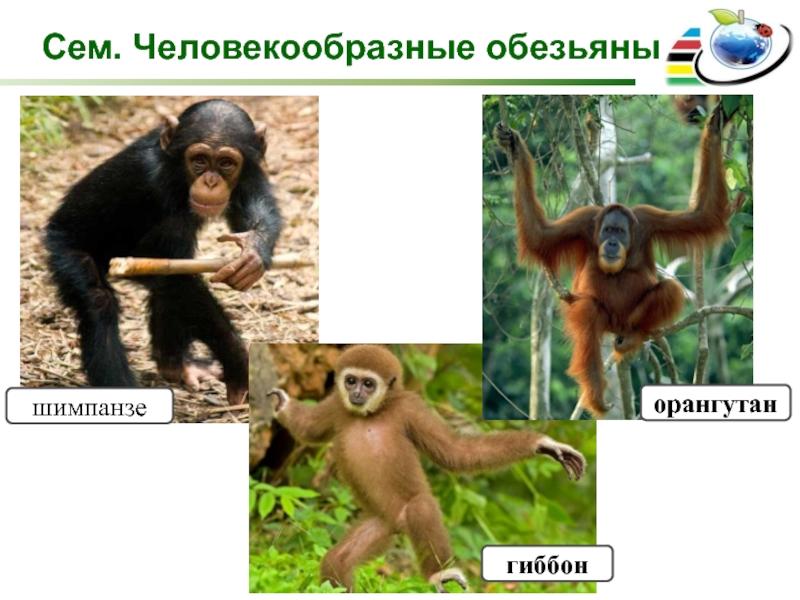 Виды обезьян разновидности обезьян названия и фото
